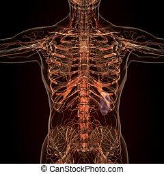 koerperbau, organe, röntgenaufnahme, menschliche , ansicht