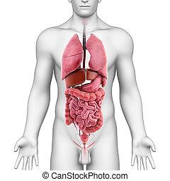 koerperbau, von, alles, organe, in, menschlicher körper