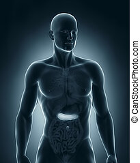 koerperbau, vorhergehend, mann, bauchspeicheldrüse, ansicht