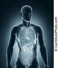 koerperbau, vorhergehend, mann, organe, ansicht