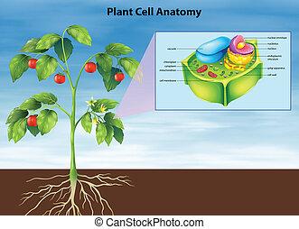 koerperbau, zelle, pflanze