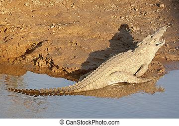 koesteren zich, krokodil, afrikaan