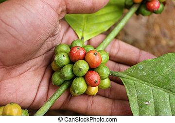 koffie bonen, plant