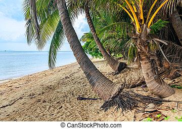 koh samui, thailand., noce di cocco, isola