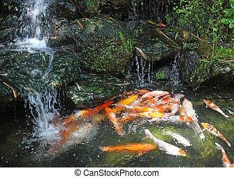 koi, étang, fish, chutes d'eau