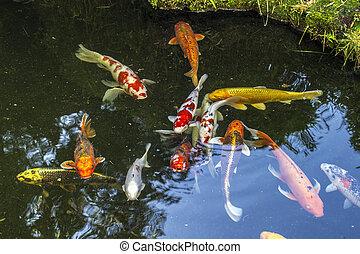 koi, étang, fish