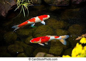 koi の魚, ∥あるいは∥, 日本, pond., 鯉