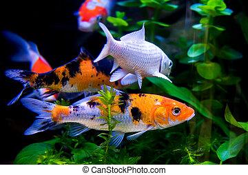 koi の魚