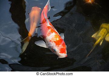 koi, 池, fish, 水泳