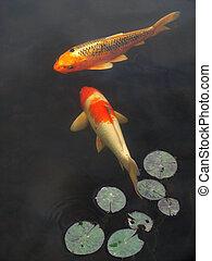 koi, 金魚