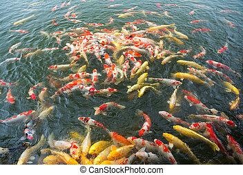 koi, beaucoup, pêcher étang