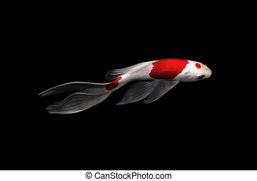 koi carp comet fish tancho kohaku traditional japanese aquarium isolated on background