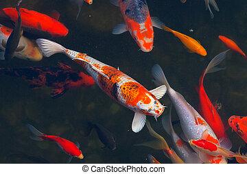 Koi Carps Fish Japanese swimming (Cyprinus carpio) beautiful...