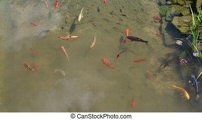 Koi carps, koi fishes in the piece of water. Garden small lake with koi carps
