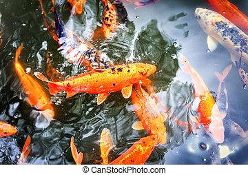 koi, charca, peces, natación