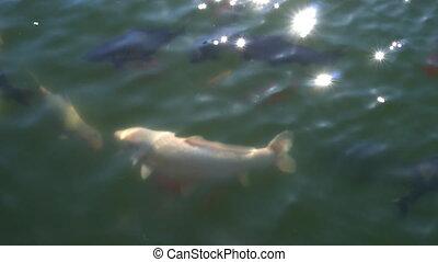 Koi common carp domesticated in the pond