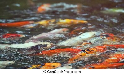 Koi (decorative carp) in the pond close up