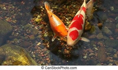 koi fischt, fütterung, in, a, teich