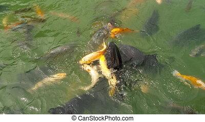 Koi fish and silver carp in pond eating. - Koi fish and...