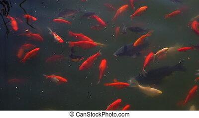 Koi fish, Fancy Carp fish swimming in The pond .