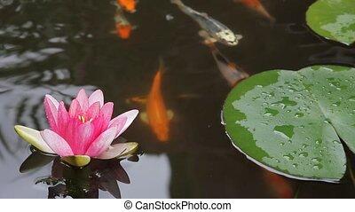 Koi Fish in Garden Water Pond 1080p