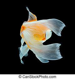 Koi fish isolated on black background