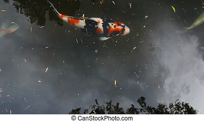 Koi fish swimming in pond 1080p hd