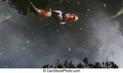 Koi fish swimming in pond 1080p hd
