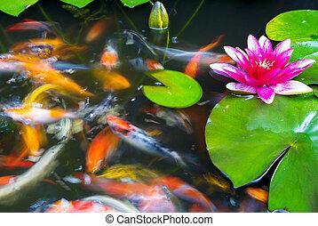 Koi Fish Swimming in the Pond - Koi Fish swimming among the ...