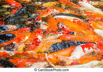 koi fish swimming in the pond