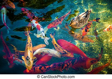 Koi Fishes and the Duck - Colorful Large Goldfishes or Koi...