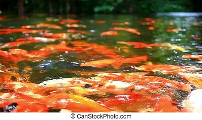 Koi fishes feeding in a pond. Close up. Blurred jungle ...