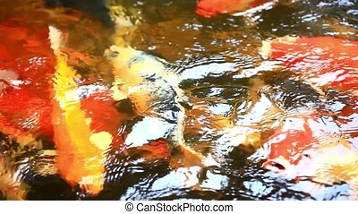 Koi fishes feeding in a pond. Close up