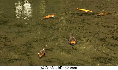Koi Fishes Swimming