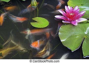 koi fiskar, simning, in, damm, med, vatten lilja