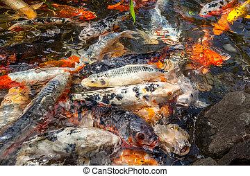 Koi,  georgia,  batumi, Farbe, Viele, fische, bunte, karpfen, rufen, Fische,  japan, oder, Teich, schwimmender