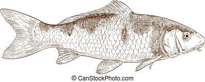 koi, ilustración, grabado, pez