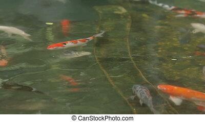 "Koi, nishikigoi, literally ""brocaded carp"" are ornamental ..."