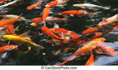Koi, oder, Viele, fische, phantasie, gerufen, Teich,...