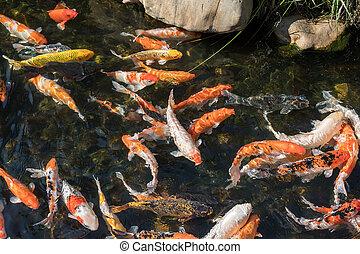 Poissons tang carpe koi natation photo de stock for Carpe koi tarif