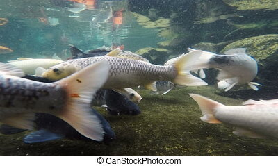 Koi Pond Big Colorful Carp Swim underwater
