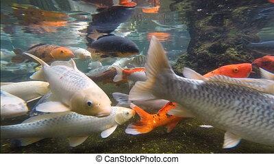 Koi Pond Big Colorful Carp Swim underwater