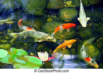 Koi pond - Koi fish in a natural stone pond