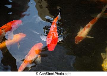koi vis, zwemmen, in, de, vijver