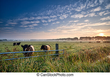 koien, en, stier, op, wei, op, zonopkomst