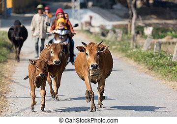 koien, platteland, rennende