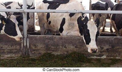 koien, stander, in, de, stalletje, en, eten, silage, met, meel, de, farmer, koien, eten, gras, op het landgoed, bazig