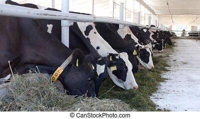 koien, stander, in, de, stalletje, en, eten, silage, met, meel, de, farmer, koien, eten, gras, op het landgoed, industriebedrijven