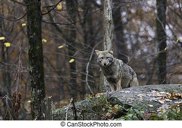 kojot, upadek