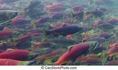 Kokanee salmon spawning upstream in creek, underwater video